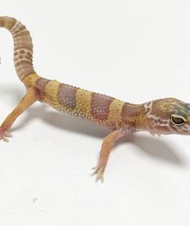 Albino Leopard Gecko CB19