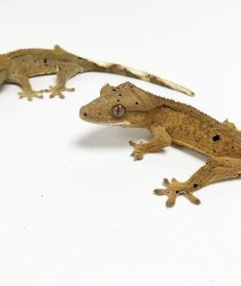 Dalmatian Crested Gecko 5-6cm CB19