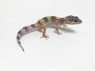 Jungle Mack Snow Leopard Gecko CB19