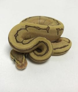 Female Fire Enchi Pinstripe Royal Python