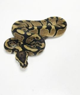 Male Enchi het Pied Royal Python CB19