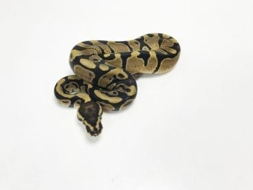 Male Enchi Royal Python CB19