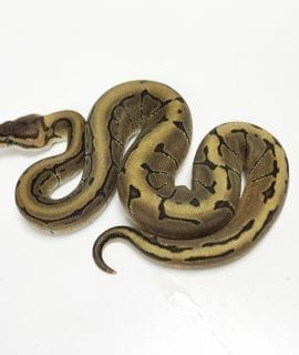 Male Enchi Pinstripe het Pied Royal Python CB19