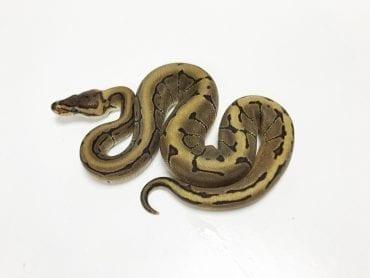 Male Enchi Pinstripe het Pied Royal Python CB19