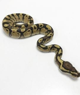 Male Fire Enchi Royal Python CB19
