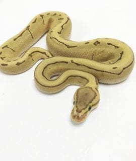 Male Fire Enchi Pinstripe Royal Python CB19