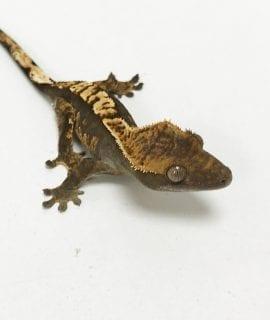 Harlequin Crested Gecko 5-6cm CB19