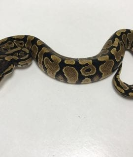 Male Yellowbelly 66% het pied Royal Python CB19