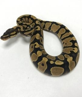Female Enchi Pastel Royal Python CB19