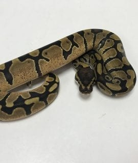 Female Enchi Royal Python CB19