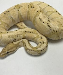 Male Banana het Pied Royal Python CB Adult
