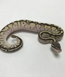 Female Butter Pastel Royal Python CB19