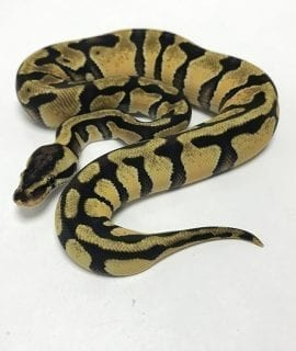 Male Enchi Pastel het Clown Royal Python CB19
