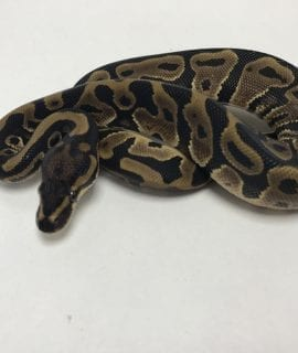 Male Leopard het Clown Royal Python CB19