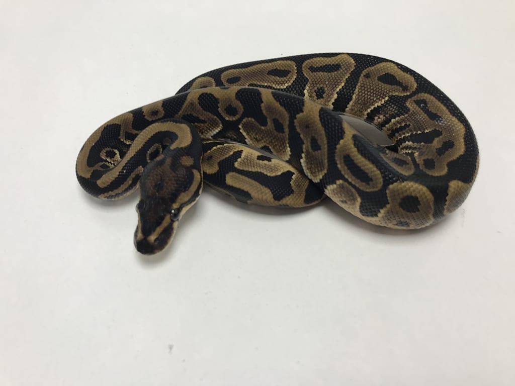 Male Leopard Het Clown Royal Python Cb19 Ball Pythons For Sale