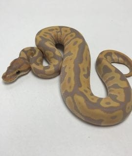 Male Banana Leopard het Clown Royal Python CB19