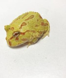 Albino Horned Frog CB20