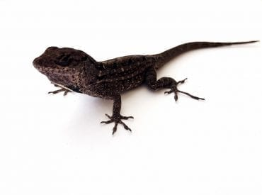 Brown Anole WC