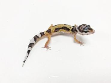 Jungle Leopard Gecko CB19