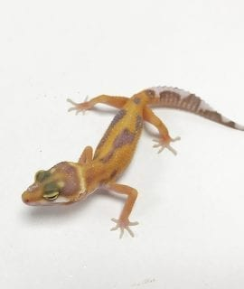 Tremper Jungle Leopard Gecko CB19