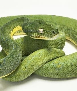 Male Vinsky (Joe Vinsky Blue Line) Green Tree Python CB16