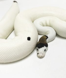 Female Panda Pied Royal Python 1.92kg CB