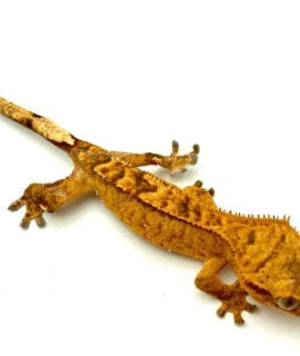 Classic Crested Gecko 5-6cm CB20