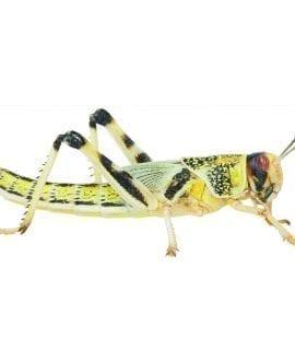 Locust pre-pack, Small