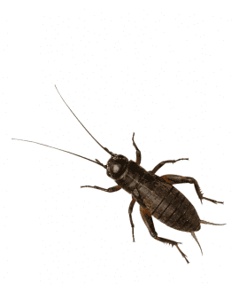Black Crickets, Med/Small (Bag of 1000)