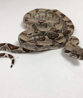 Female Common Boa CB19