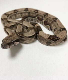 Male Common Boa CB19