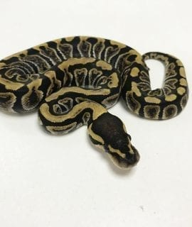 Female GHI het Clown Royal Python CB19