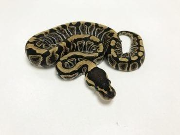 Female GHI het Clown Royal Python CB19