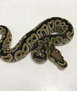 Male GHI Clown Royal Python CB19