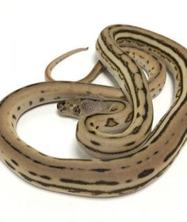 Female Super Tiger poss het Albino Mainland Reticulated Python CB19