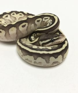 Male Butter Pastel het Pied Royal Python CB19