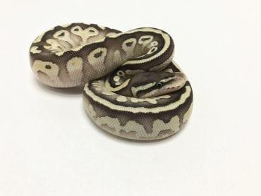 Male Butter Pastel het Pied Royal Python CB19