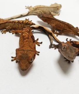 Breeding Projects Crested Gecko