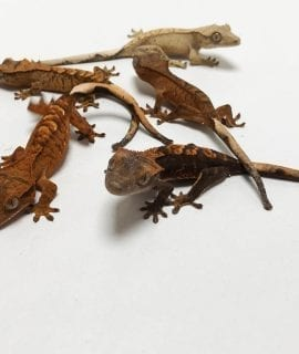 Mixed Morph Crested Gecko CB19