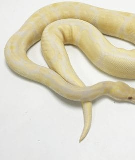 Male Lavender Albino poss het Pied Royal Python 910g CB17