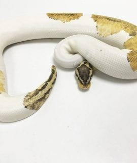 Male Super Pastel Pied Royal Python 680g CB17