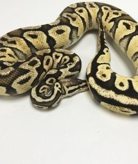 Male Firefly het Clown Royal Python 1100g CB16