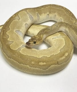Female Lesser Clown Royal Python CB 1.6kg