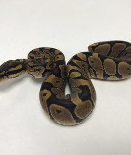 Male Classic Royal Python CB19