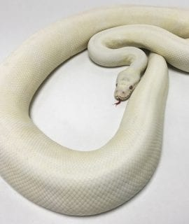 Female Snow Royal Python CB 2.45kg