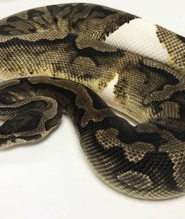 Female Pied Royal Python 2kg CB