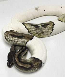Female Pied Royal Python 2.35kg CB