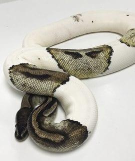 Female Pied Royal Python 2.35kg CB