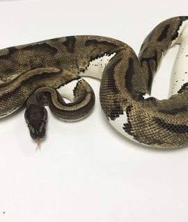 Female Pied Royal Python 2.3kg CB