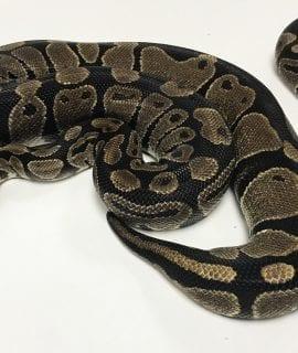 Het Tri Stripe Royal Python Pair 1.3kg/2.25kg CB